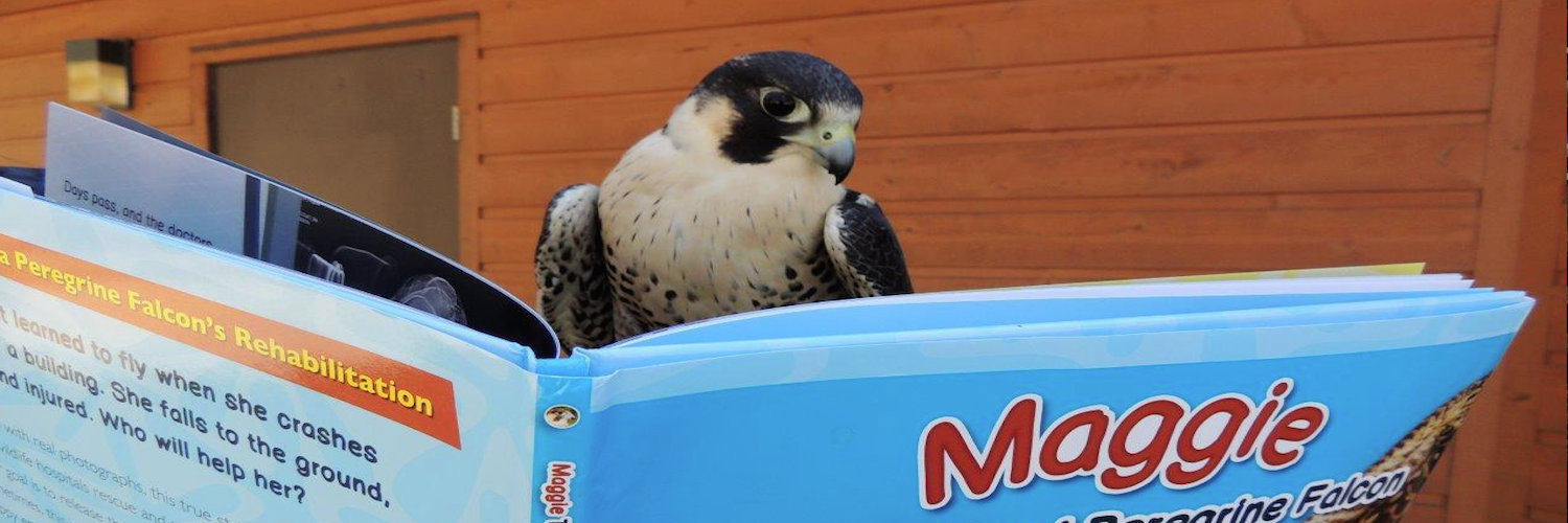 Maggie the One-eyed Peregrine Falcon