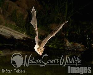 bat-in-flight