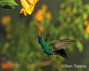 broad-billed-male-at-flowers-master-j1v9498