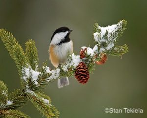 black-capped-chickadee-on-spruce-master-tek5750_alt