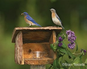 eastern-bluebird-pair-on-mealworm-feeder