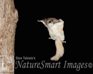 flying-squirrel3
