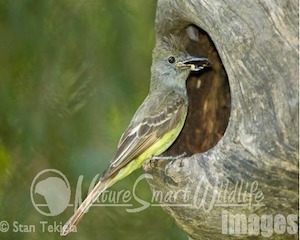 great-crested-fly-catcher2