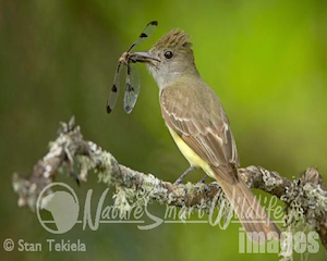 great-crested-fly-catcher3