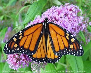 monarch-butterfly2