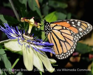 monarch-butterfly3