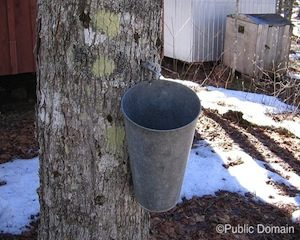 maple-syrup-taping