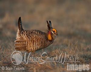 prairie-chicken-1