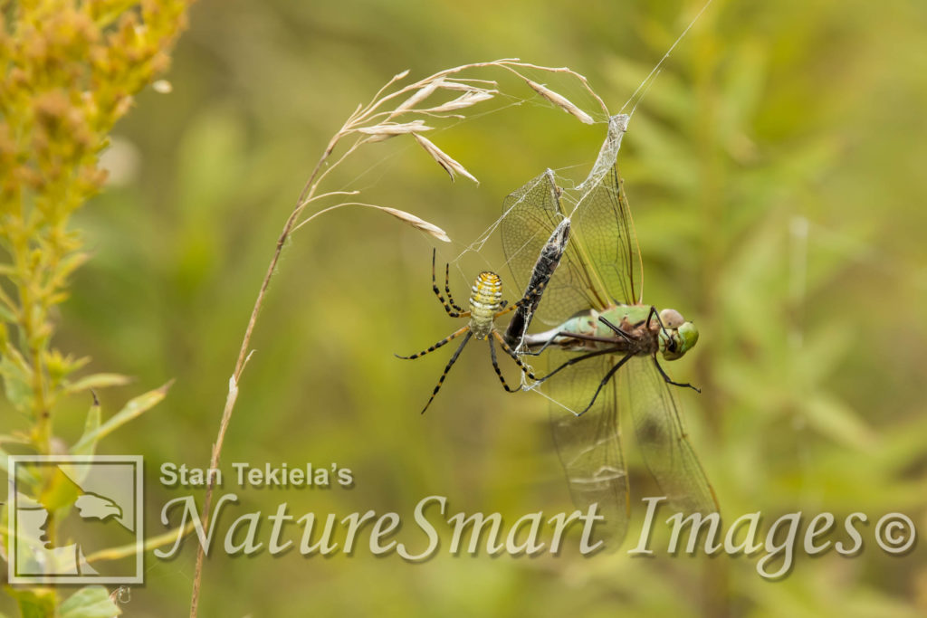 Argiope Spider and dragonfly