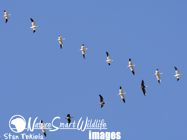 Snow Goose formation