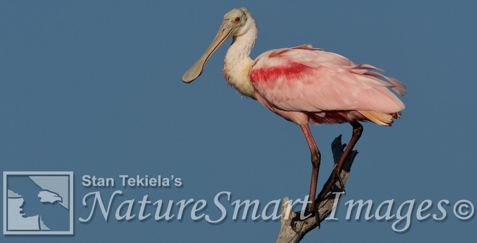Birds of Florida: Spoonbill