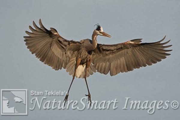 Florida heron