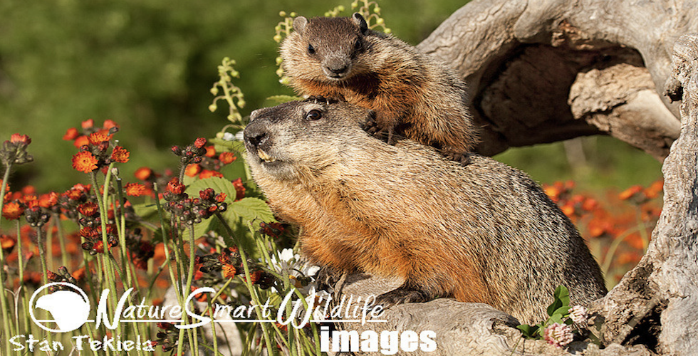 Woodchuck mom and baby
