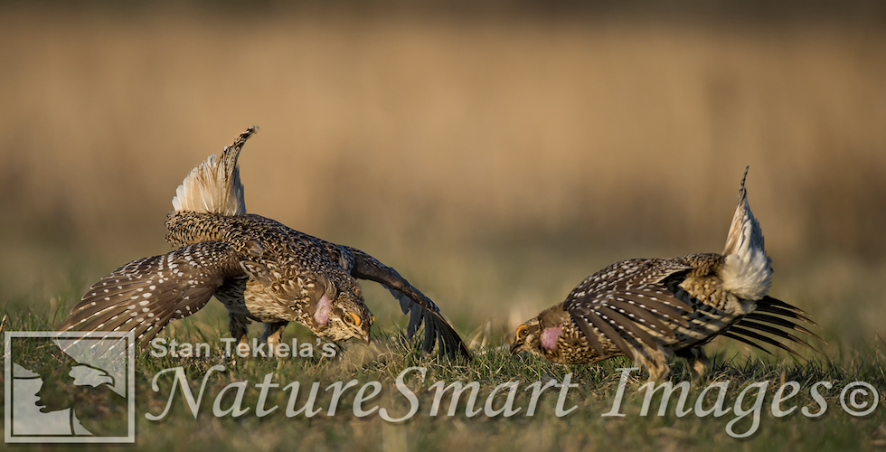 Sharp-tailed Grouse Banner