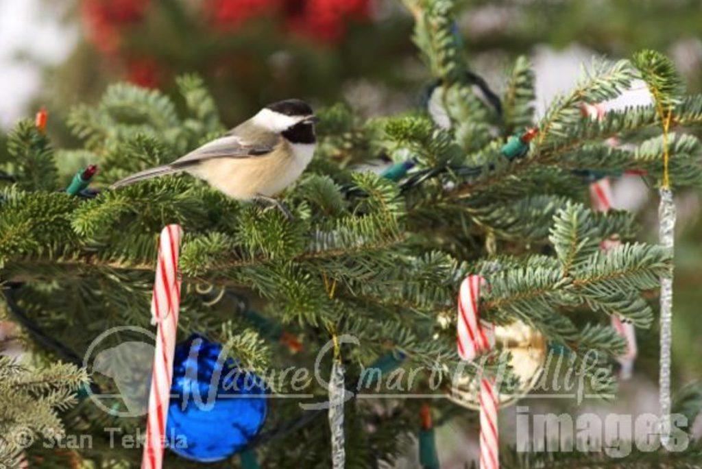 Christmas Tree Debate