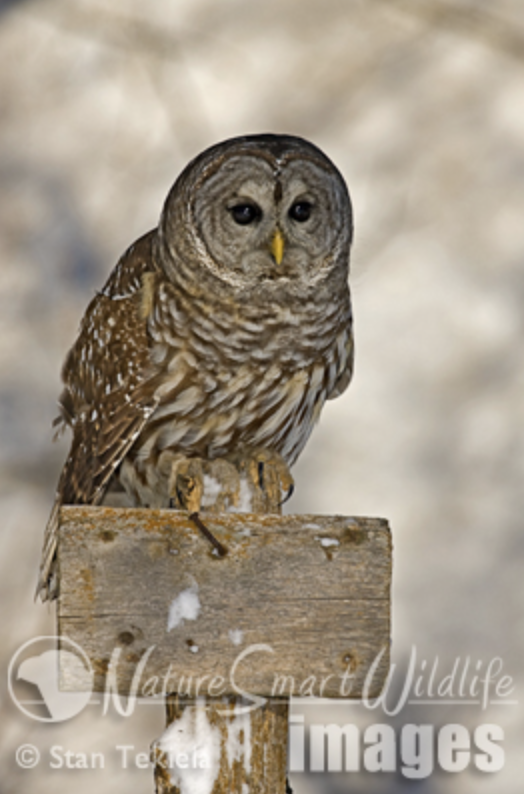 Winter is a Time of Plenty for Owls