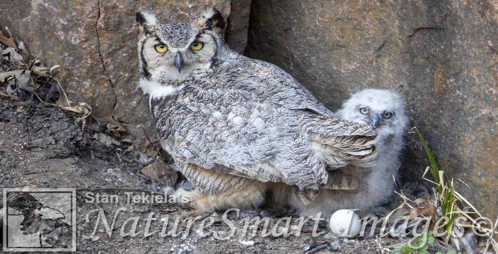 Great Horned Owls banner