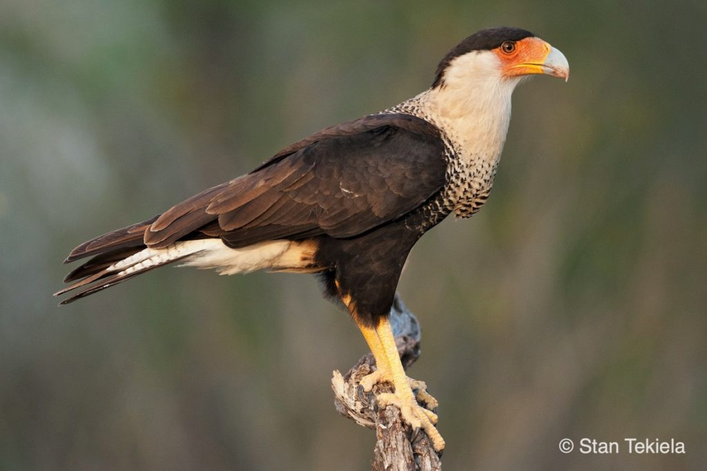A Crested Caracara perches on a Florida branch.