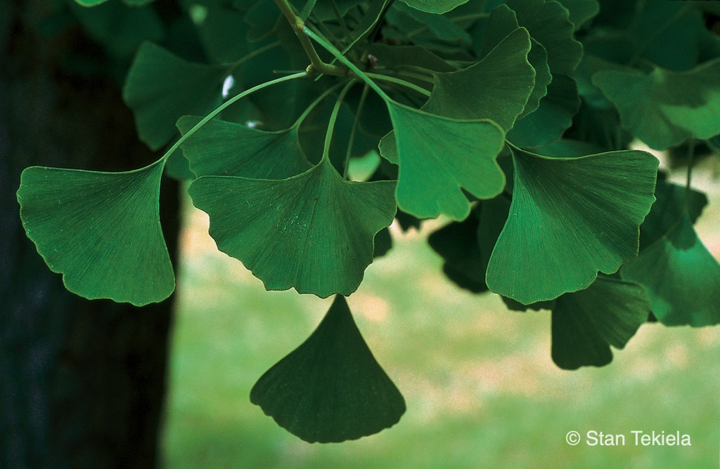 A blooming Gingko Tree with green fan-like leaves.