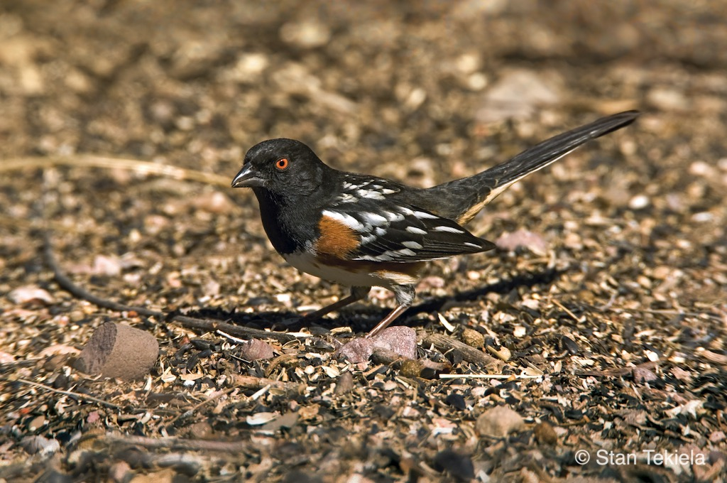Spotted Towhee searches for food on the ground in Texas.