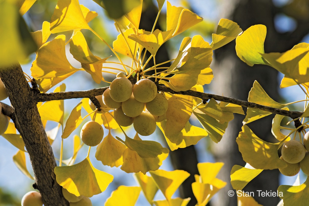 Yellow Ginkgo Biloba fruit ready to harvest in the Carolinas.