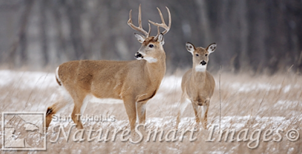 white-tailed deer banner