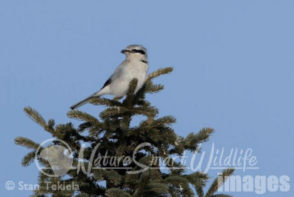 Northern Shrikes