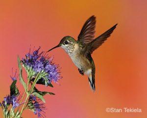 calliope-hummingbird-female-master-tek5176